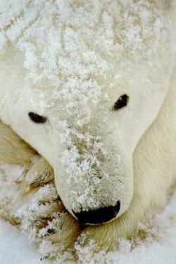 oso_polar.jpg